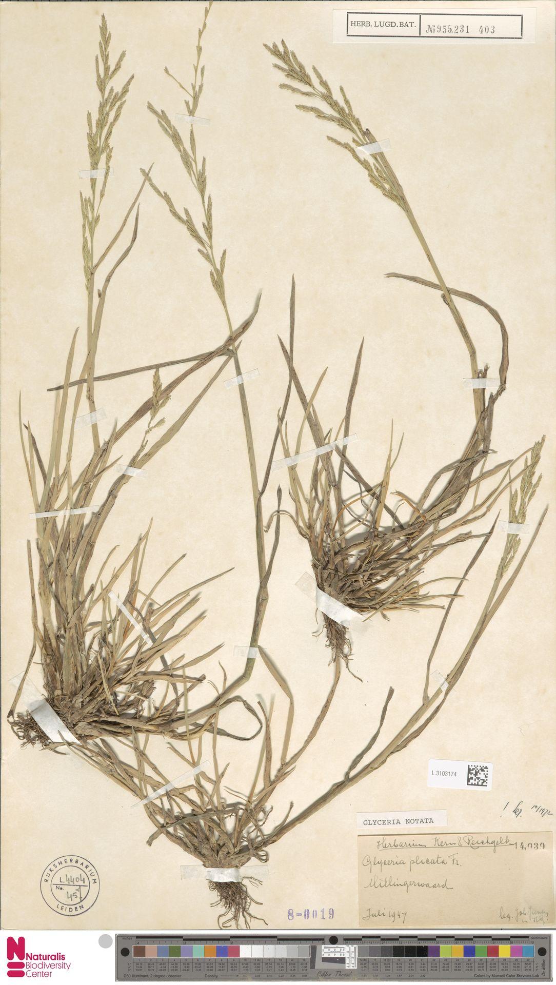L.3103174 | Glyceria notata Chevall.