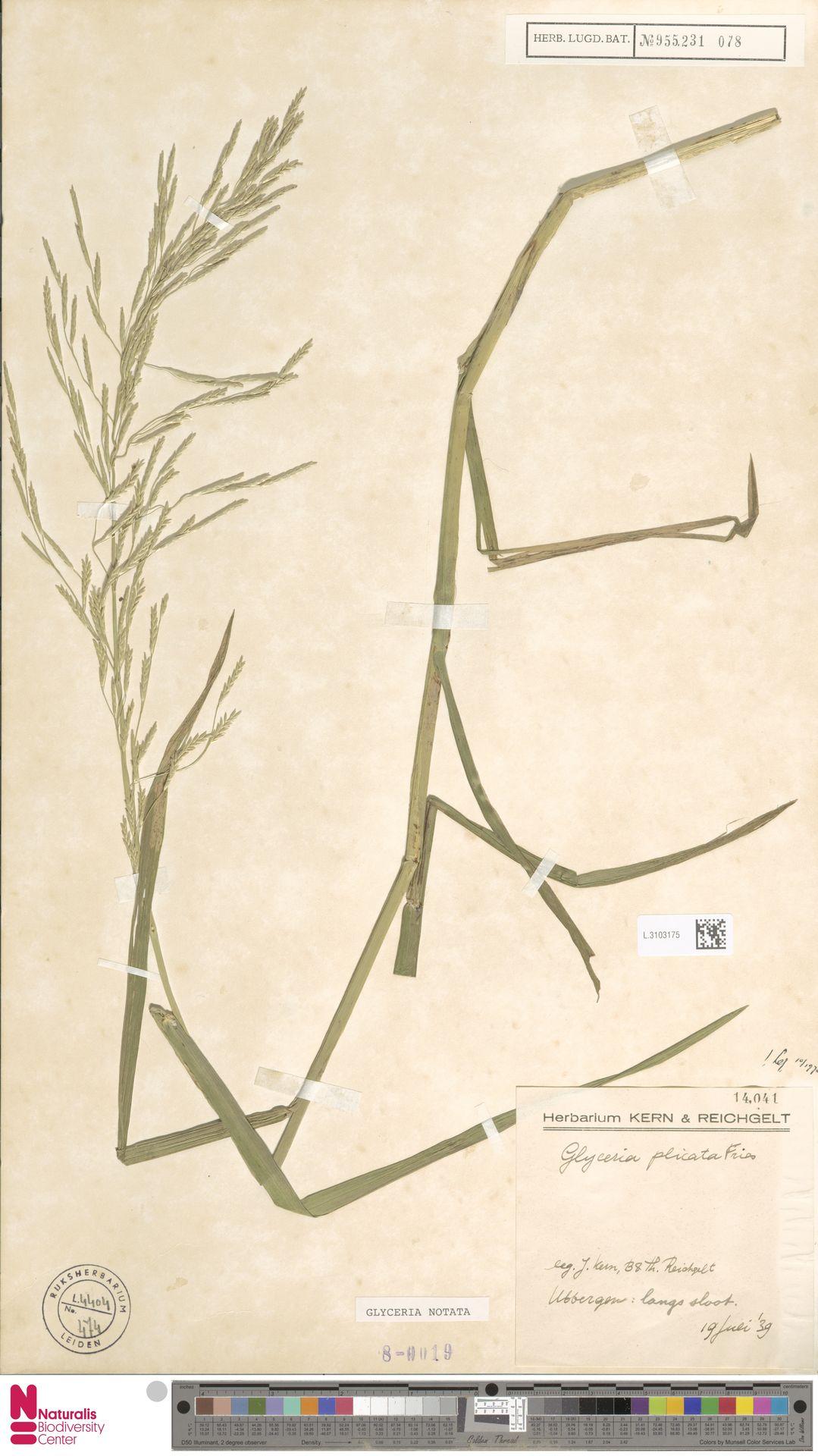 L.3103175 | Glyceria notata Chevall.