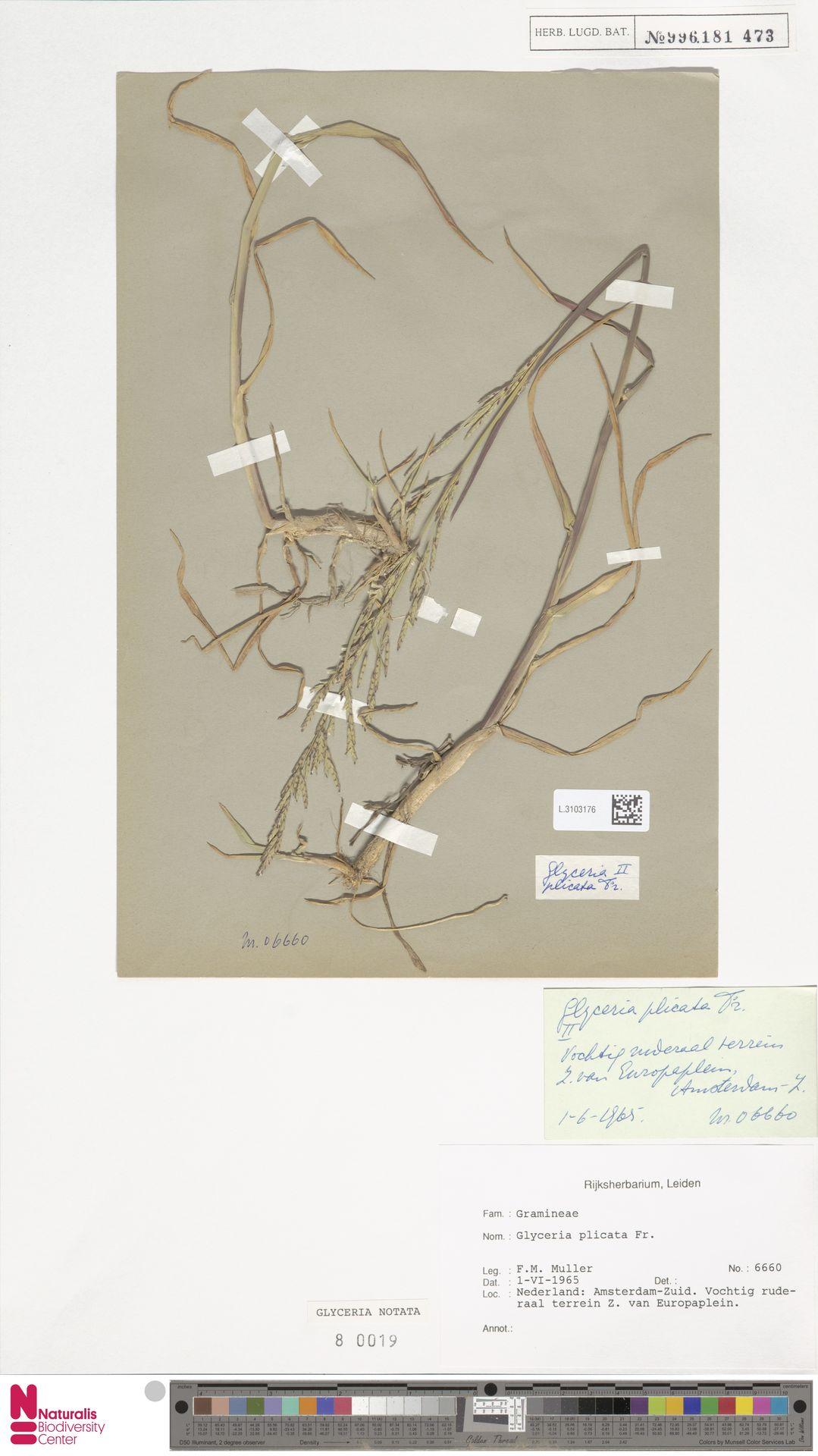 L.3103176 | Glyceria notata Chevall.