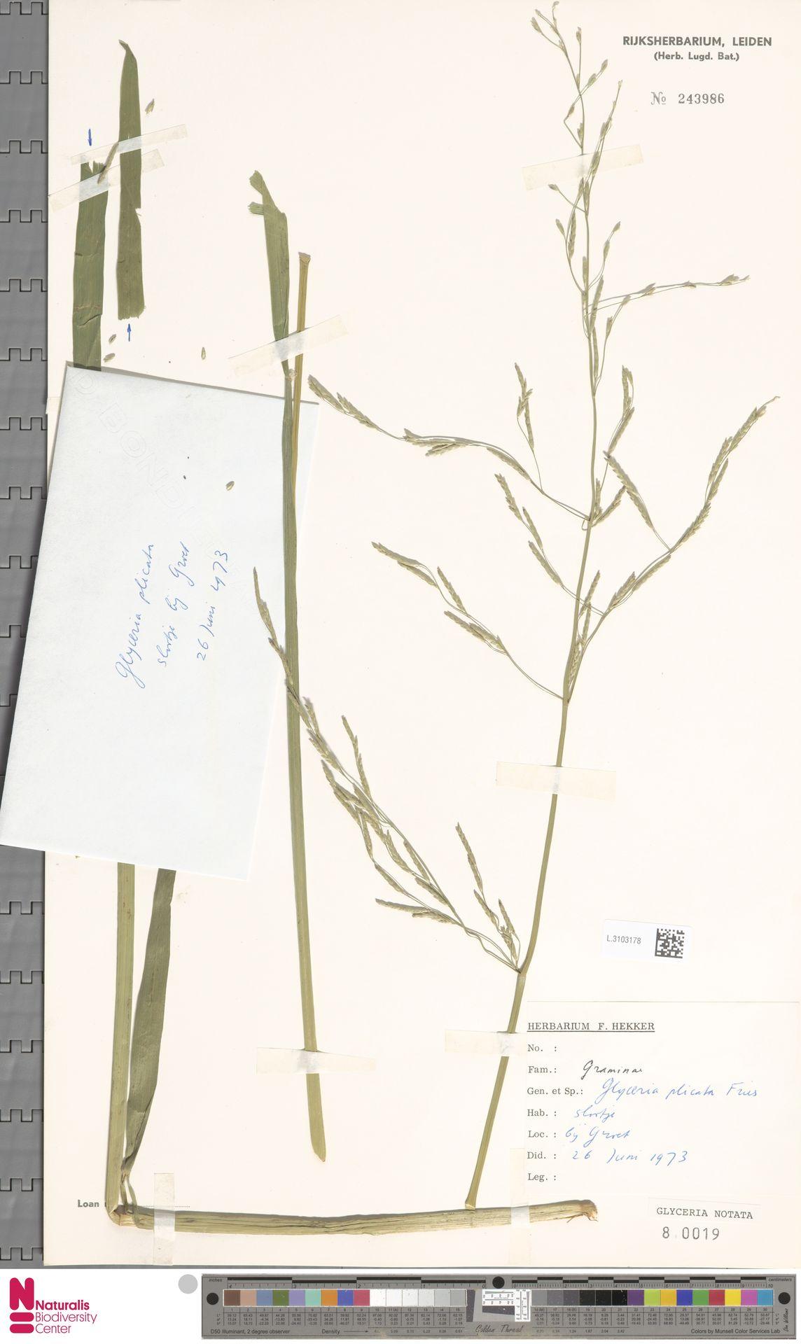 L.3103178 | Glyceria notata Chevall.