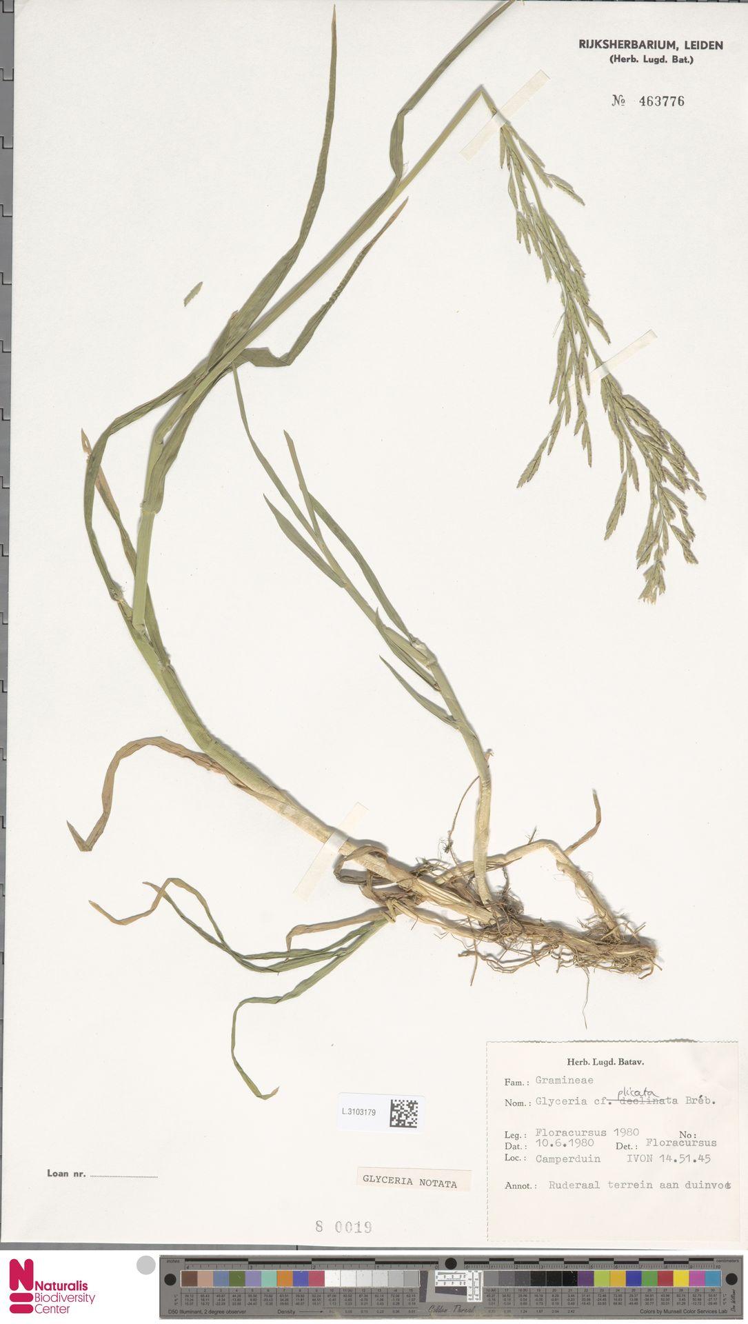 L.3103179 | Glyceria notata Chevall.