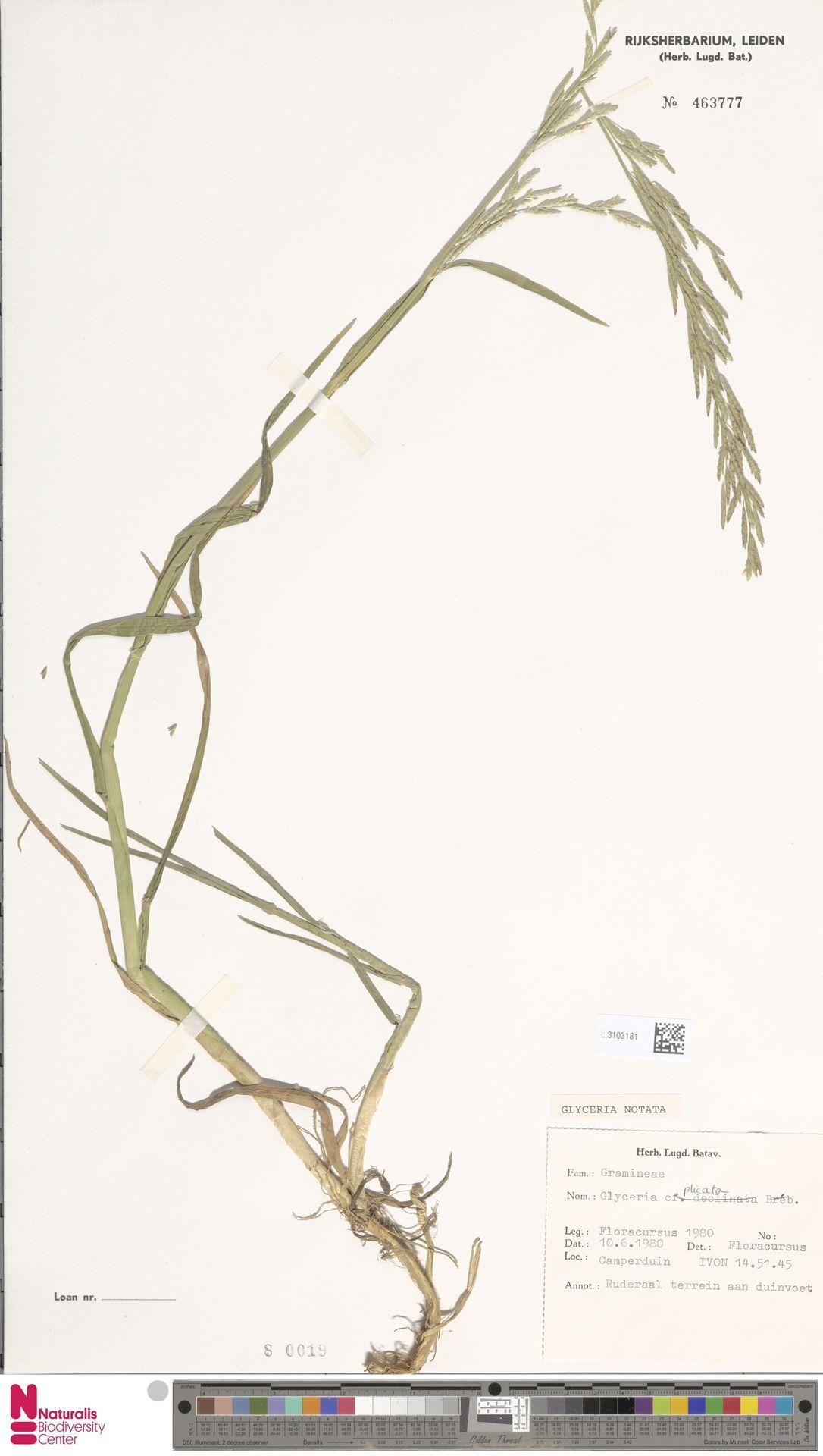 L.3103181 | Glyceria notata Chevall.