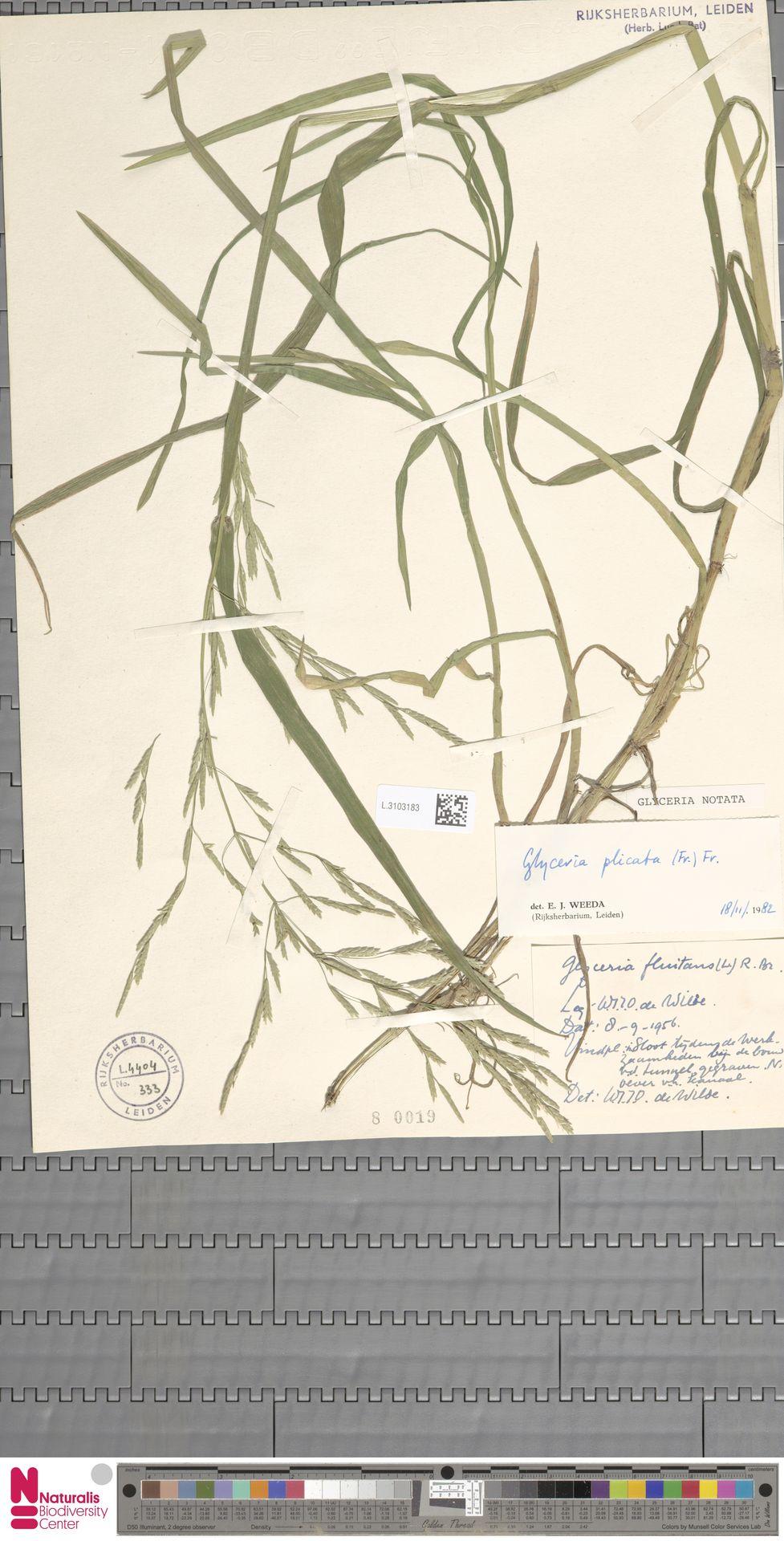 L.3103183 | Glyceria notata Chevall.