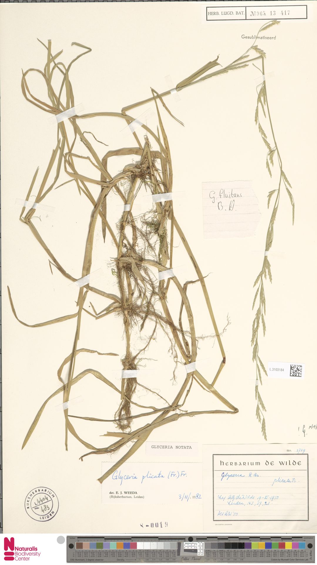 L.3103184   Glyceria notata Chevall.