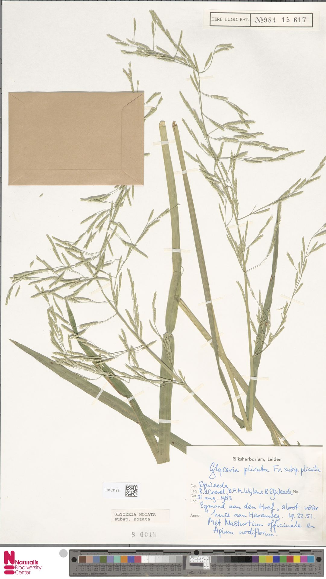 L.3103193 | Glyceria notata Chevall.