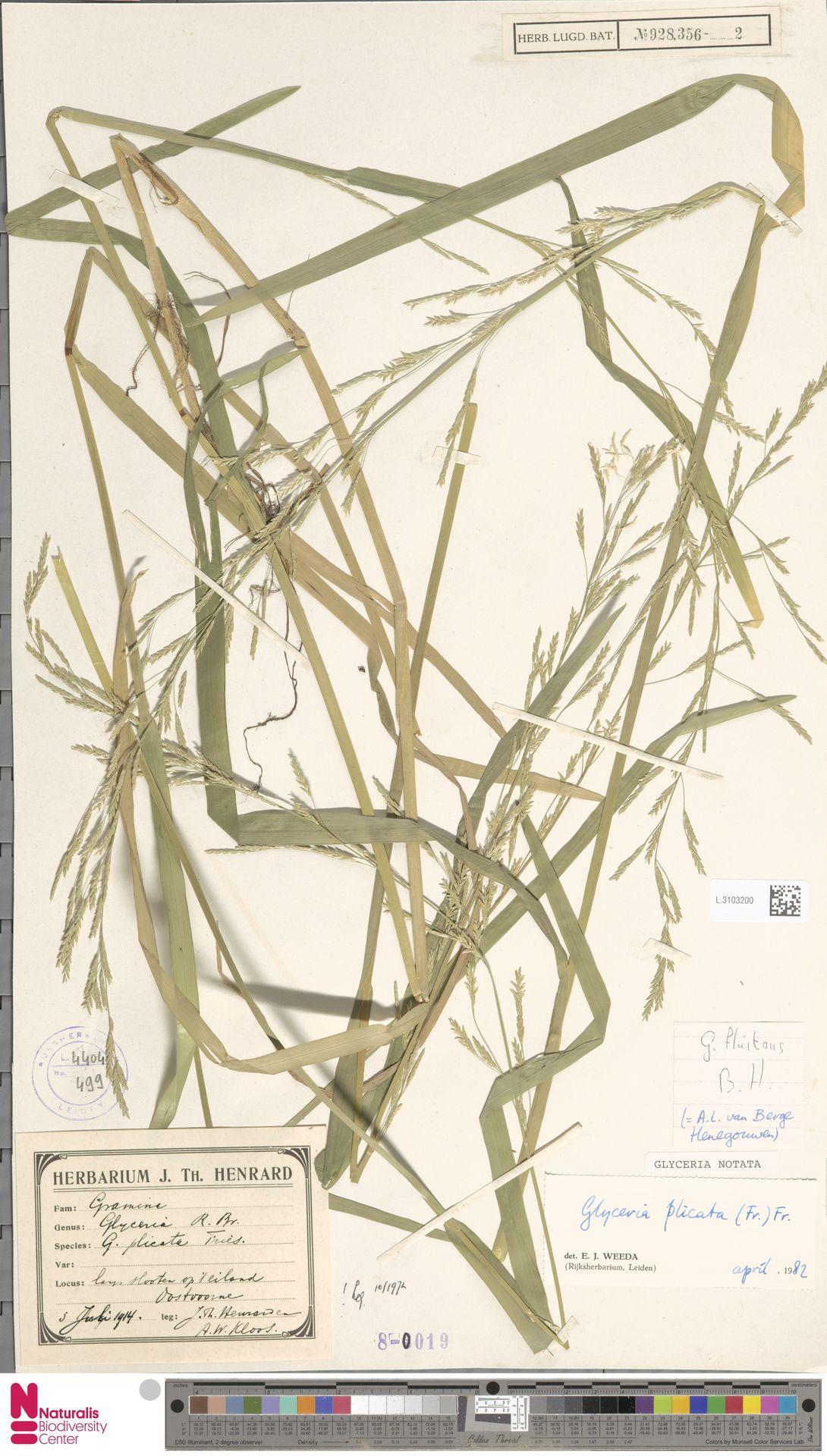 L.3103200 | Glyceria notata Chevall.