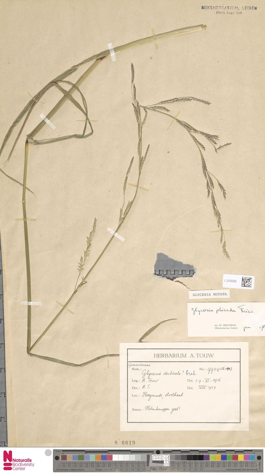L.3103205 | Glyceria notata Chevall.