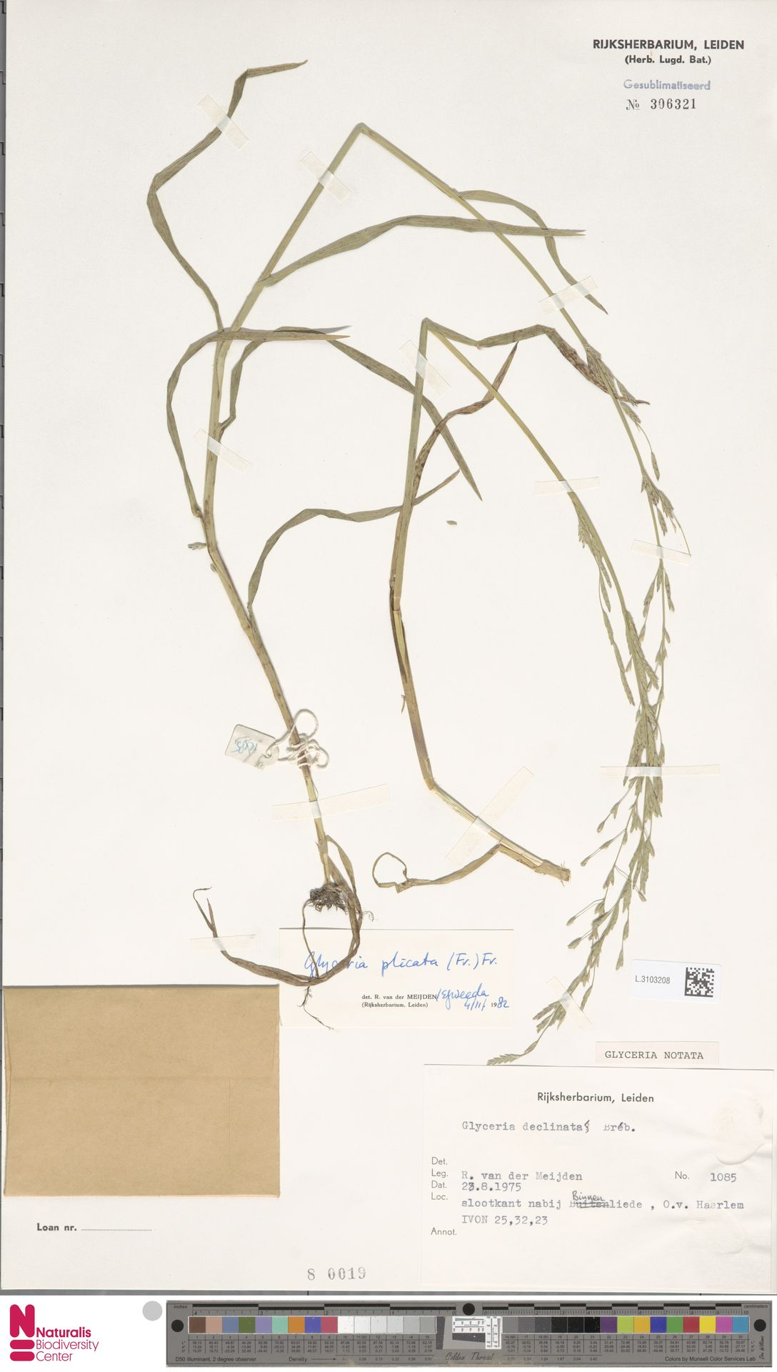 L.3103208 | Glyceria notata Chevall.