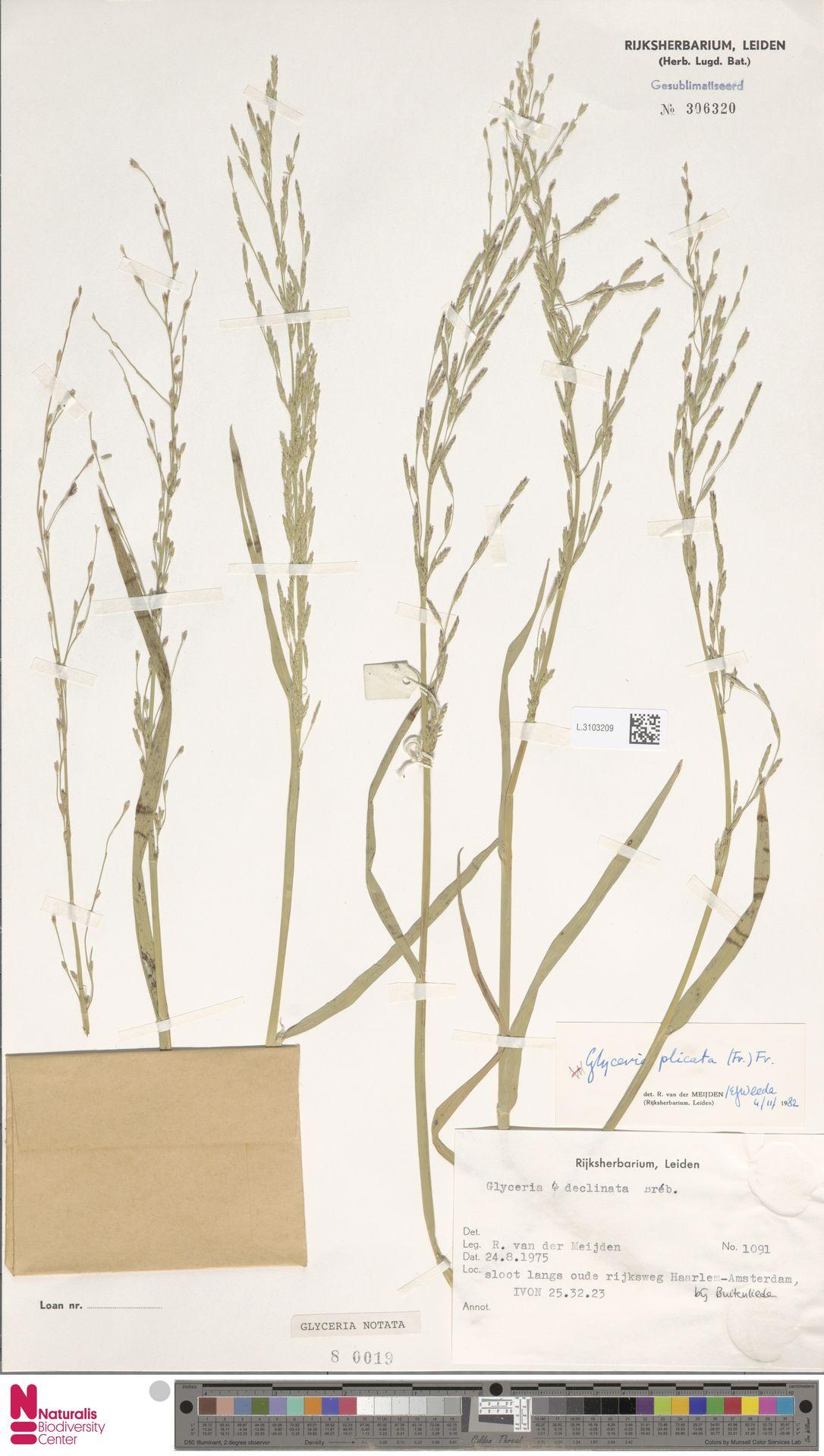L.3103209 | Glyceria notata Chevall.