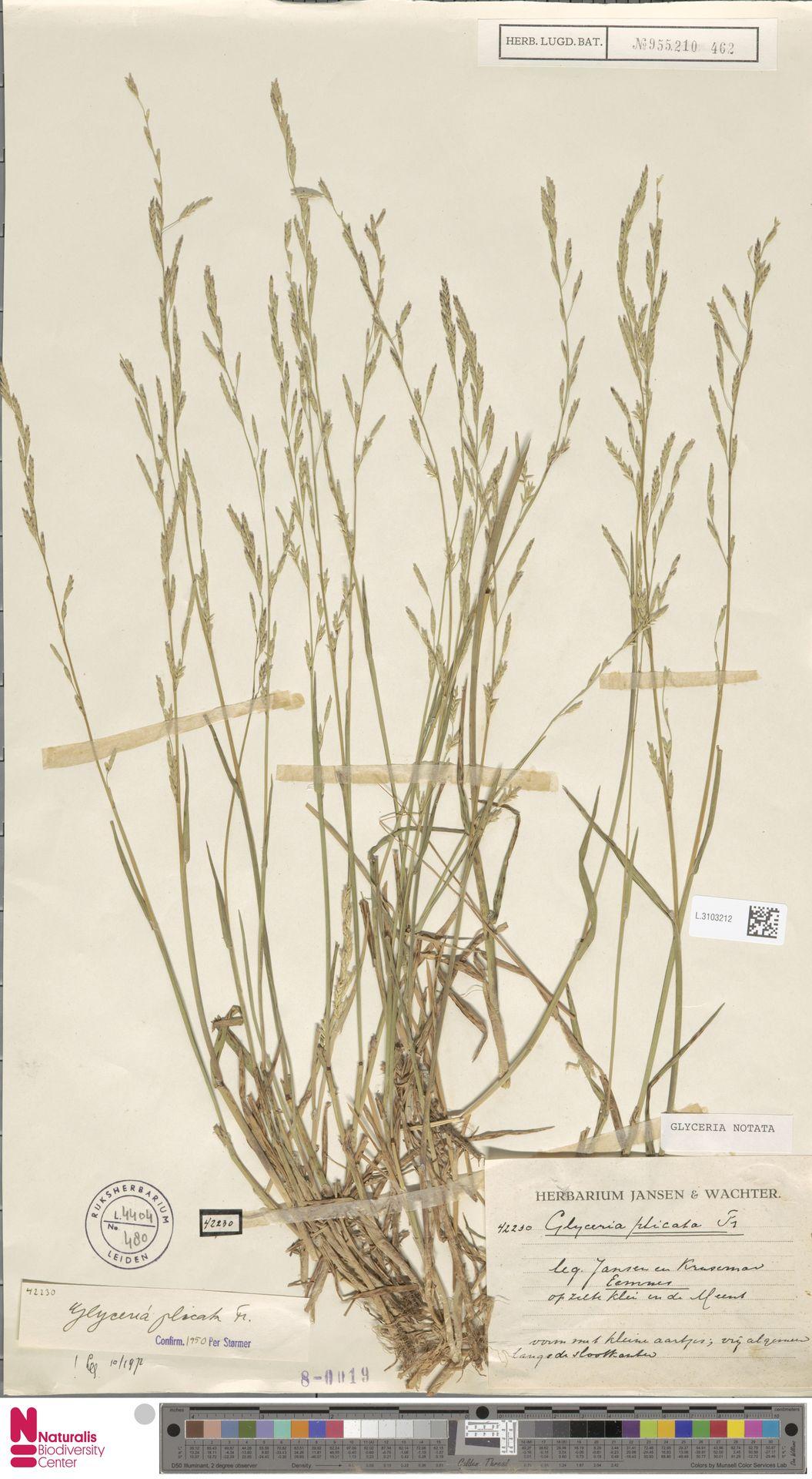 L.3103212 | Glyceria notata Chevall.