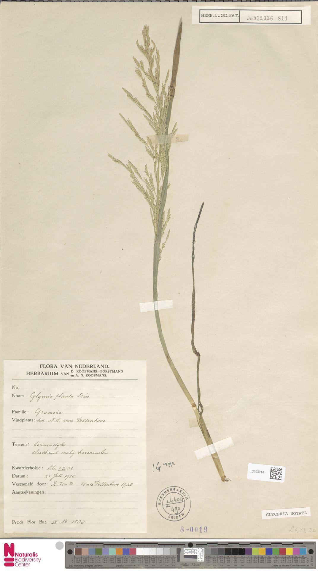 L.3103214   Glyceria notata Chevall.