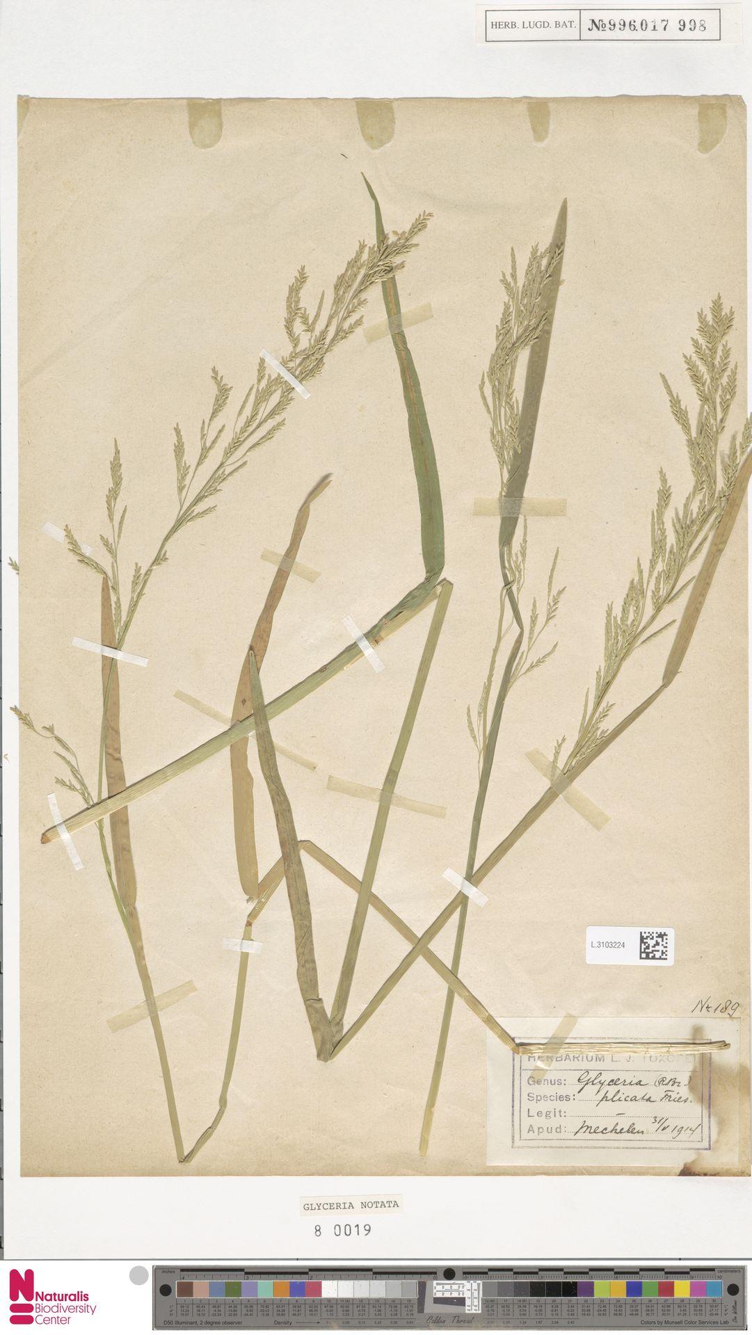 L.3103224   Glyceria notata Chevall.