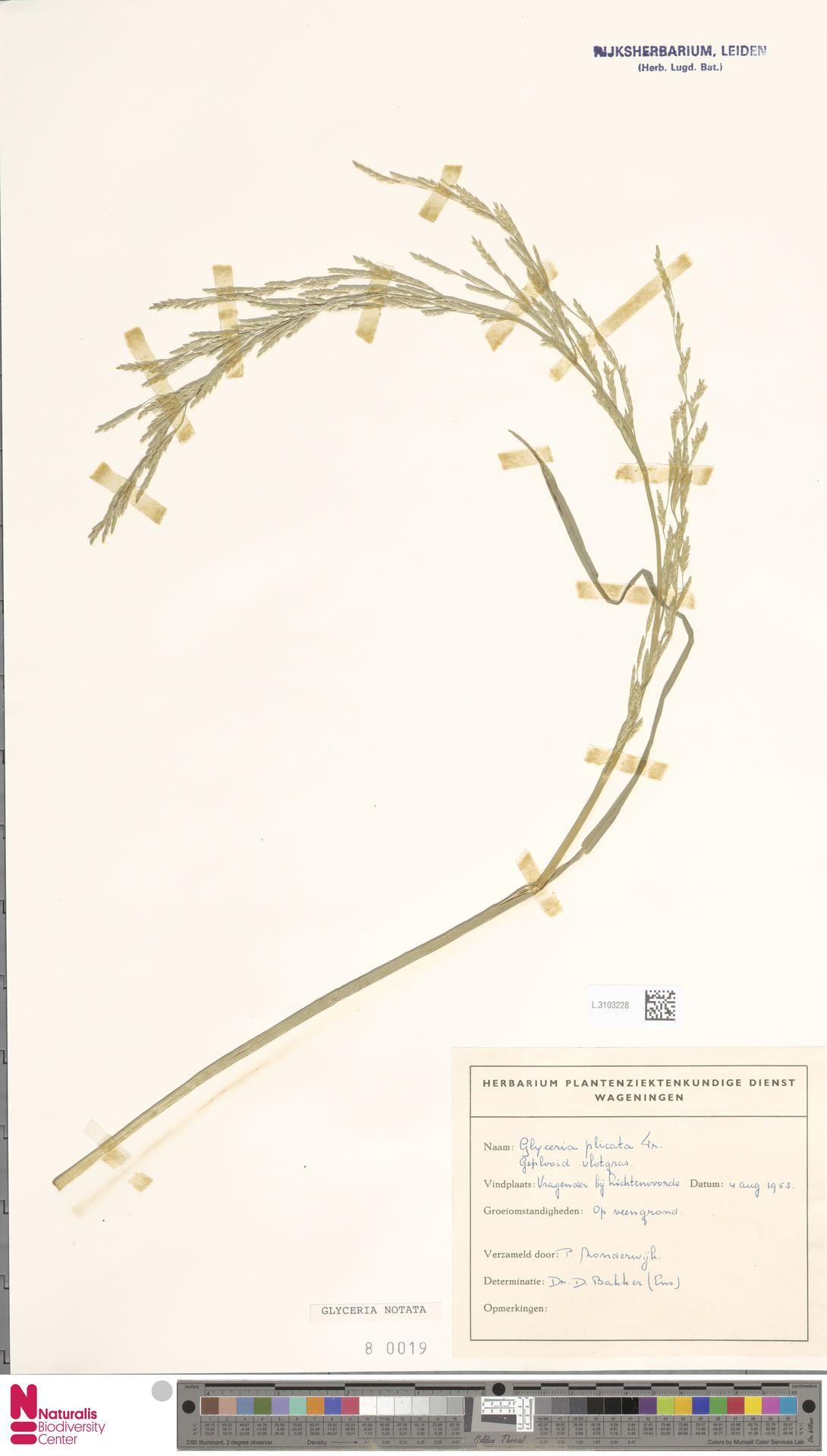 L.3103228 | Glyceria notata Chevall.