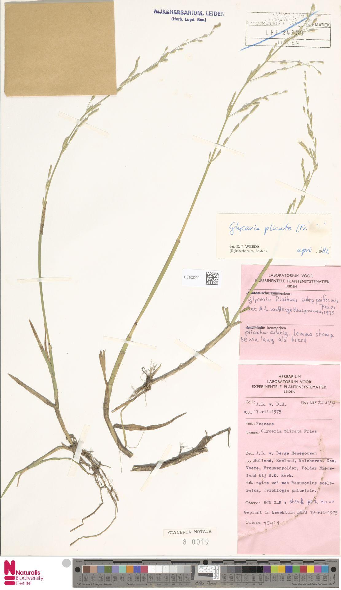 L.3103229 | Glyceria notata Chevall.