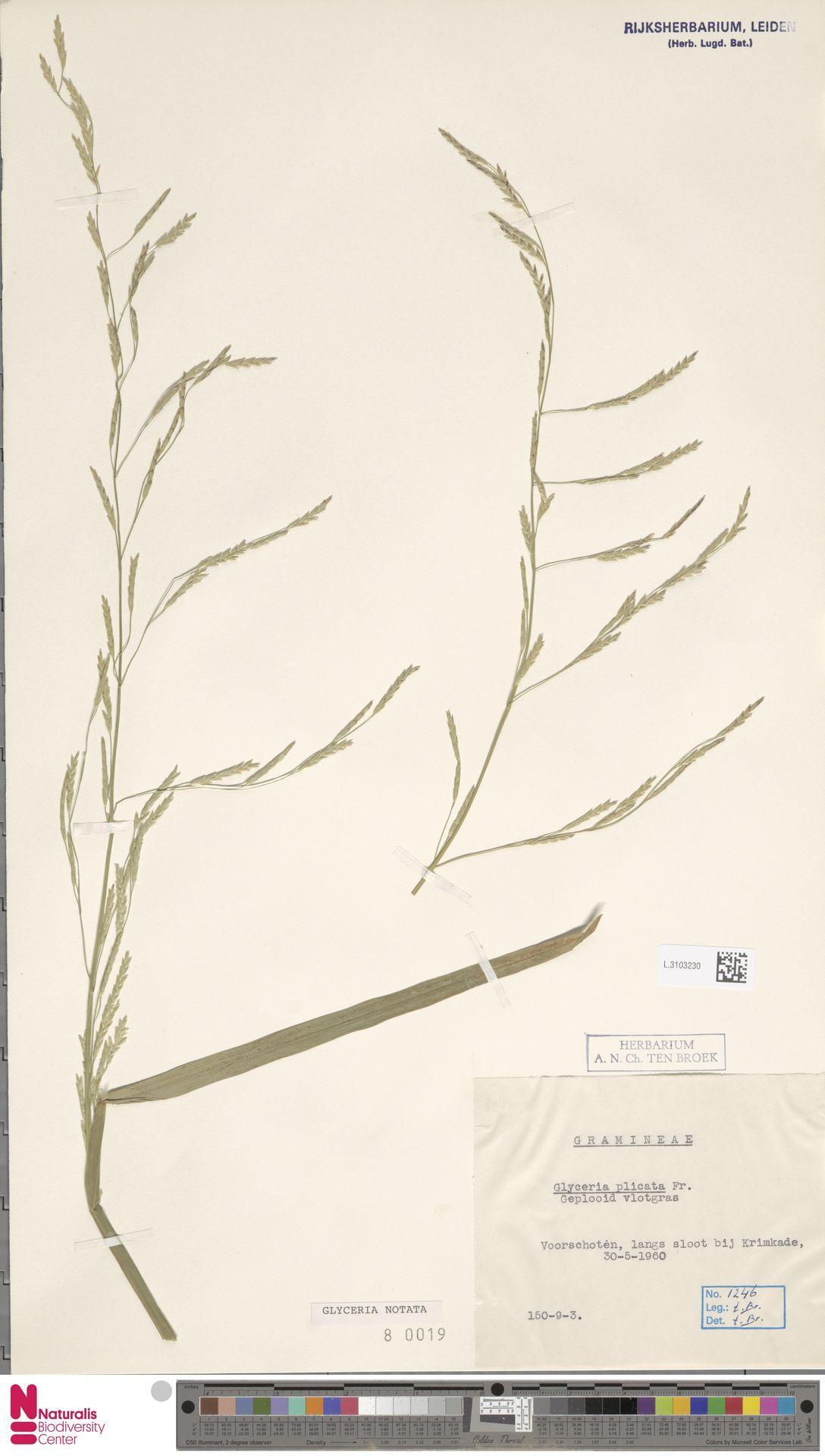 L.3103230 | Glyceria notata Chevall.