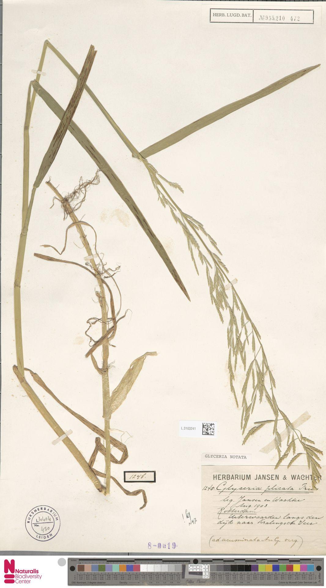 L.3103241 | Glyceria notata Chevall.