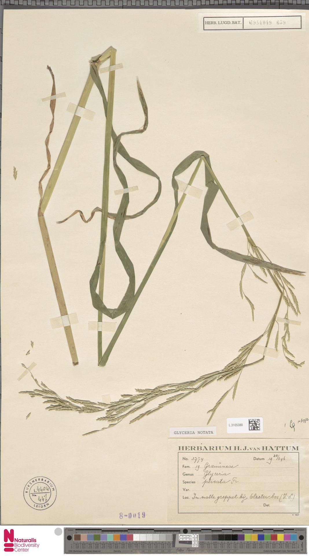 L.3105388 | Glyceria notata Chevall.