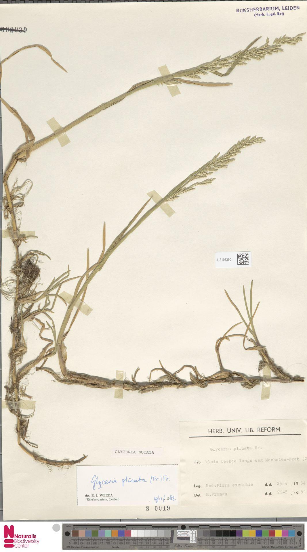 L.3105390 | Glyceria notata Chevall.