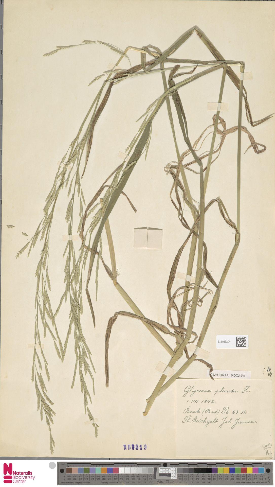 L.3105394 | Glyceria notata Chevall.