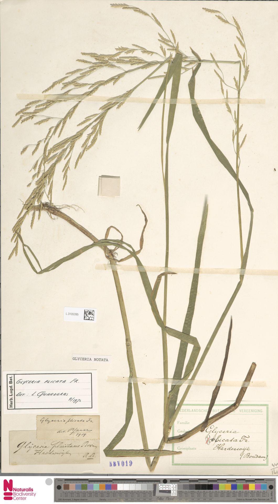 L.3105395 | Glyceria notata Chevall.