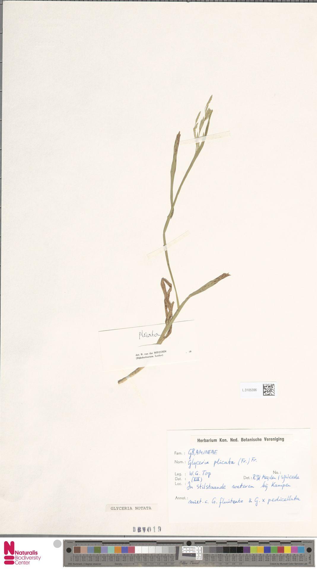 L.3105396 | Glyceria notata Chevall.