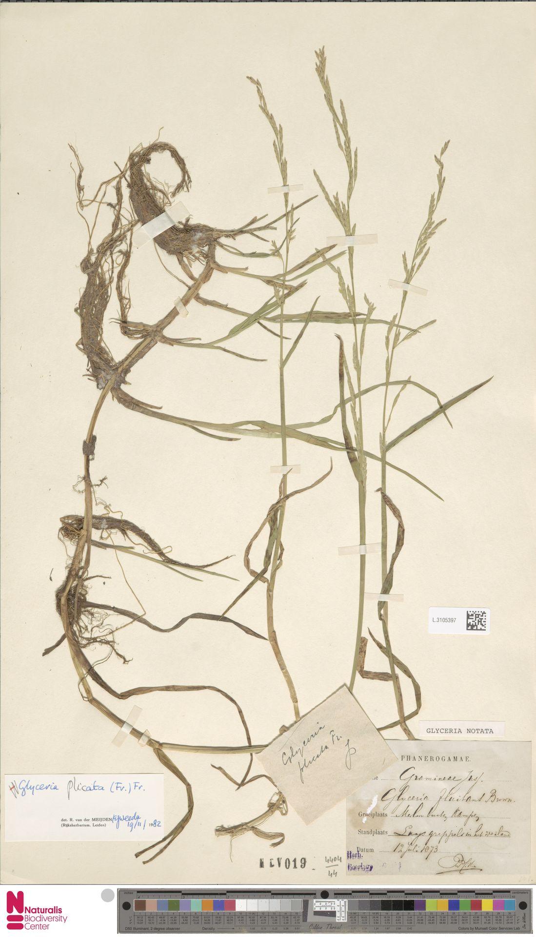 L.3105397 | Glyceria notata Chevall.