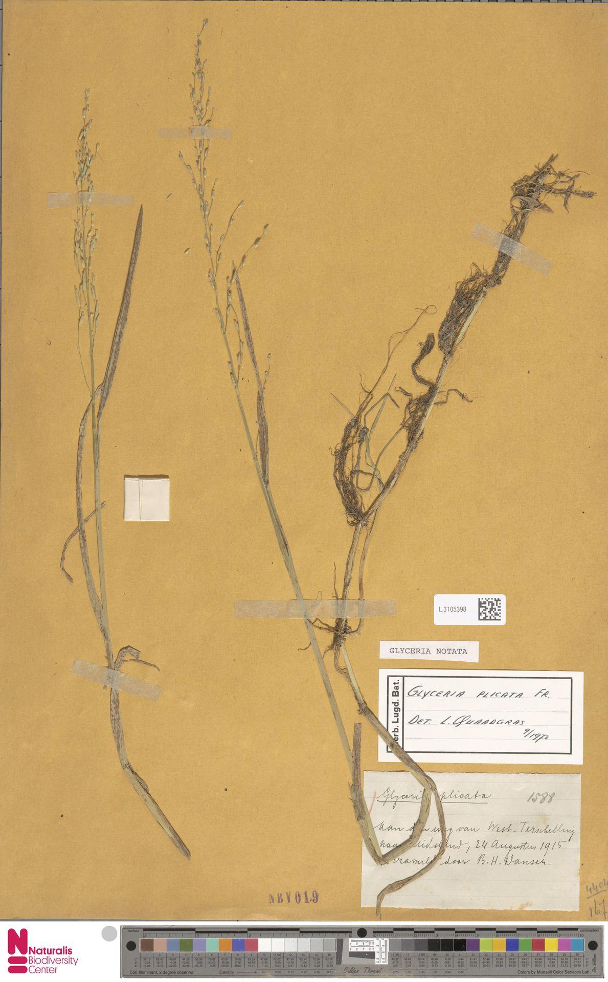 L.3105398 | Glyceria notata Chevall.
