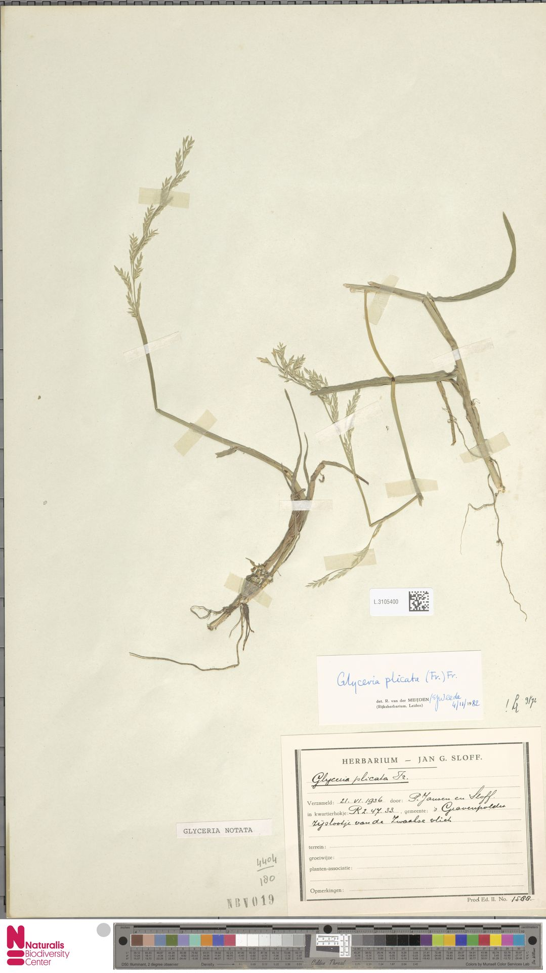 L.3105400 | Glyceria notata Chevall.
