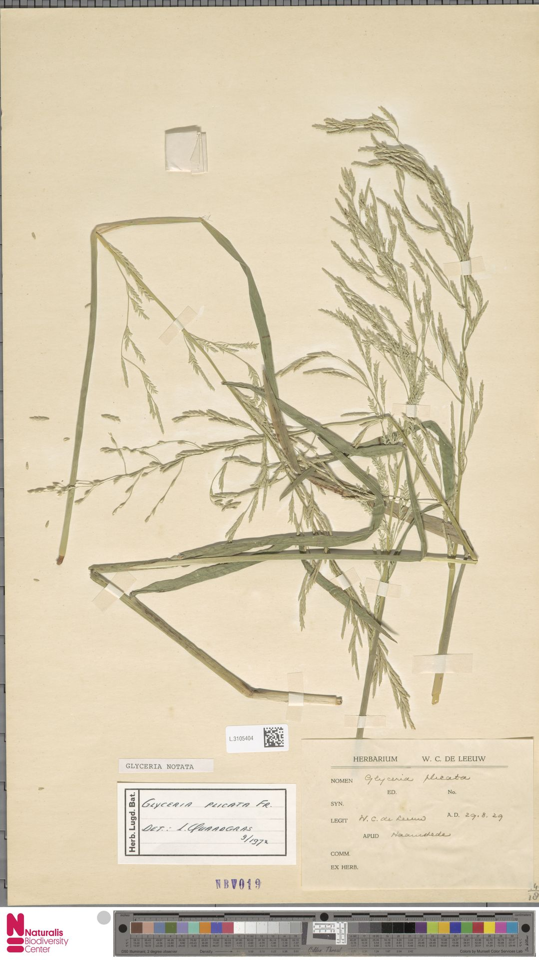 L.3105404 | Glyceria notata Chevall.
