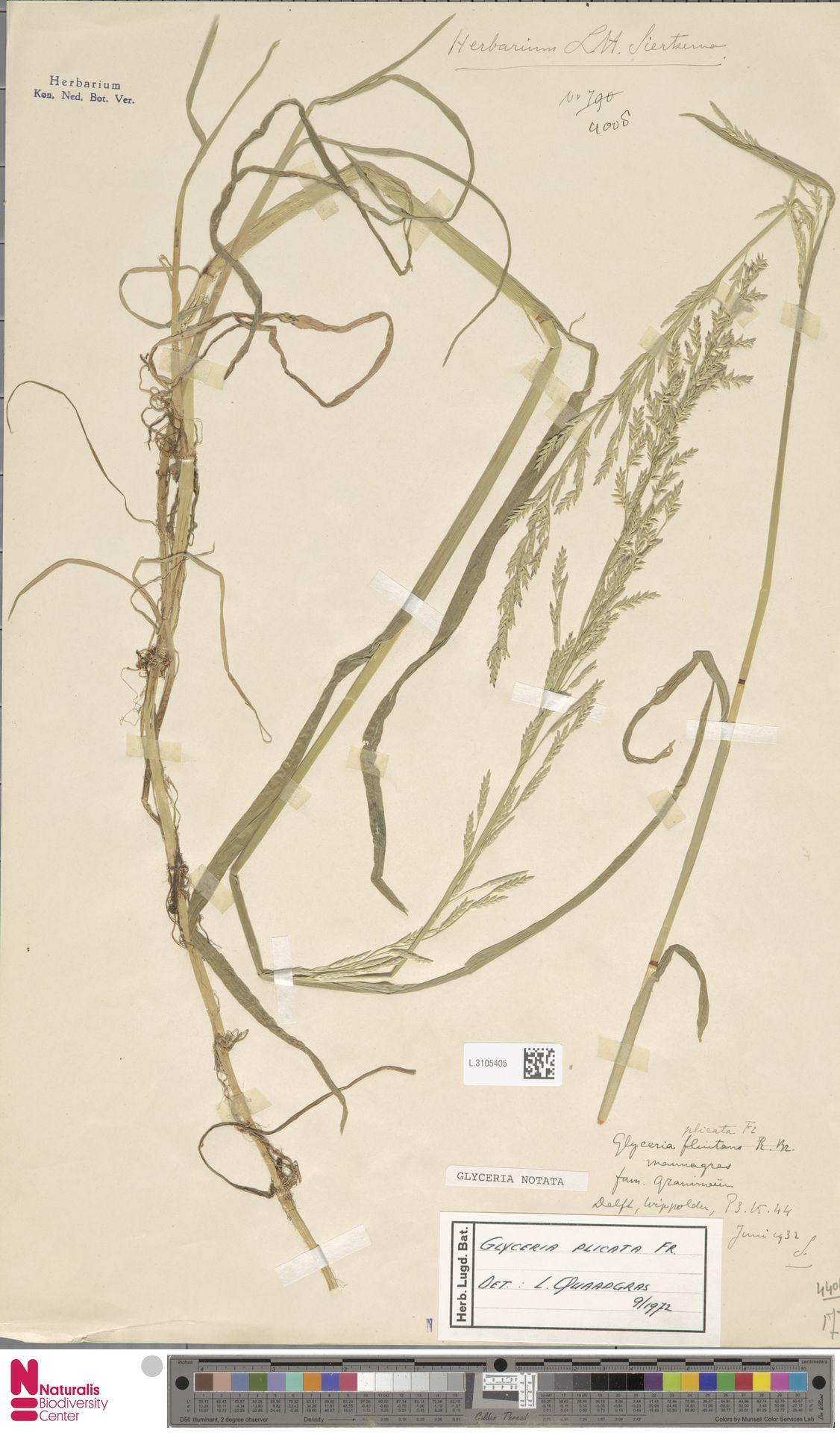 L.3105405   Glyceria notata Chevall.