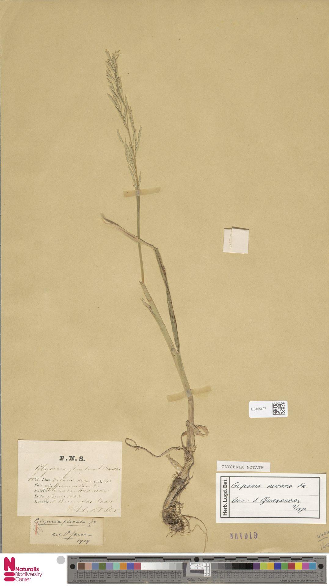L.3105407 | Glyceria notata Chevall.