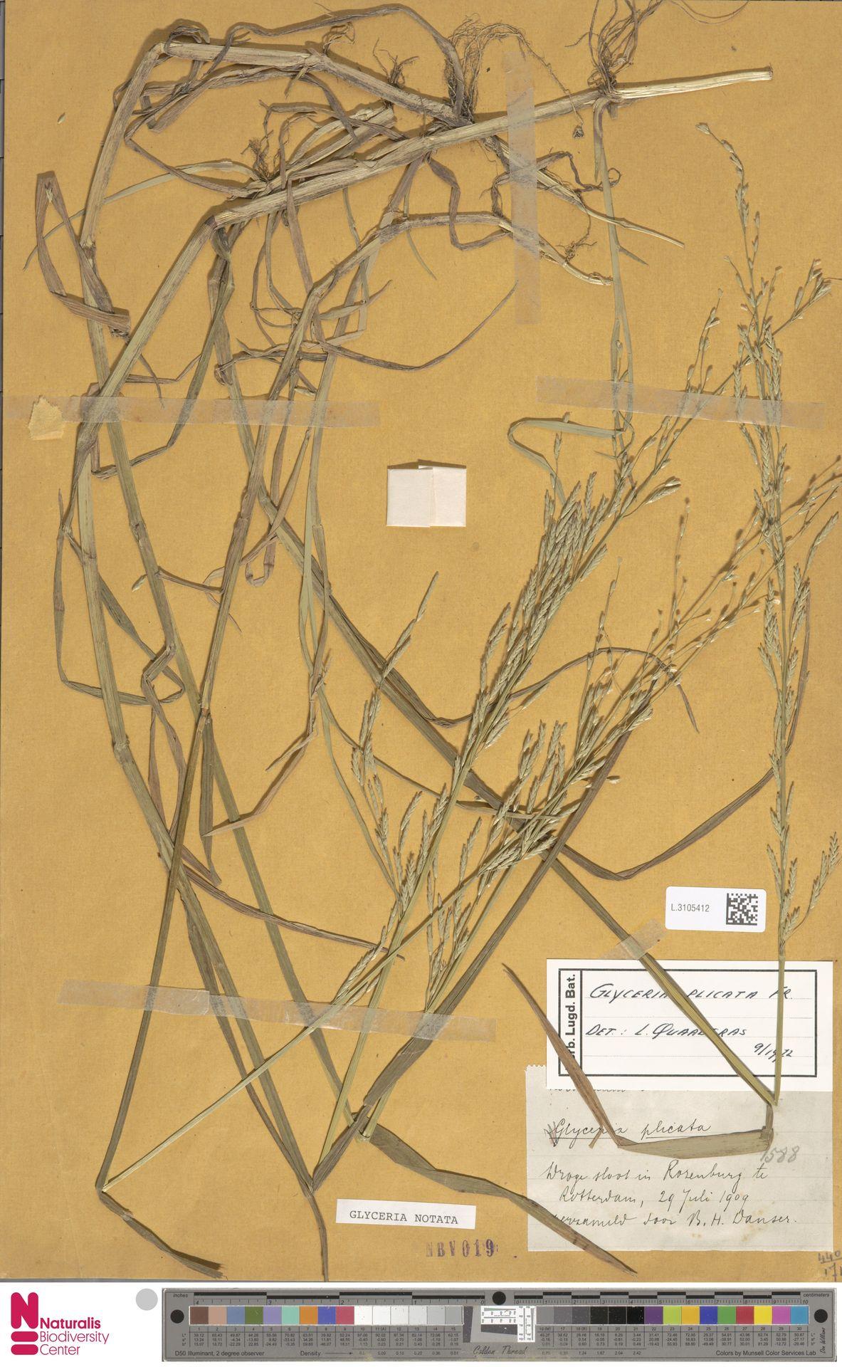 L.3105412 | Glyceria notata Chevall.