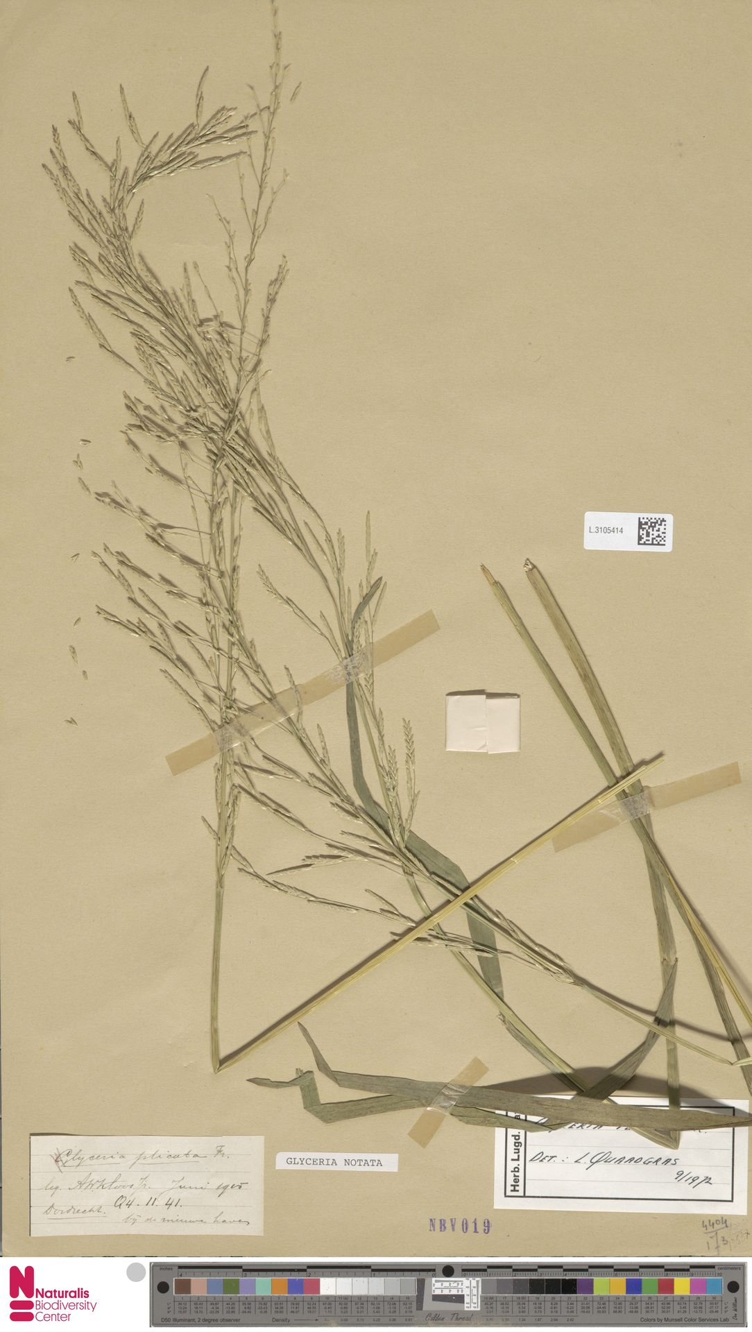 L.3105414   Glyceria notata Chevall.