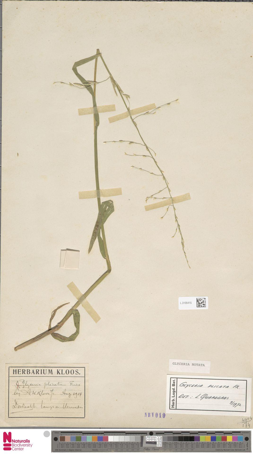 L.3105415   Glyceria notata Chevall.