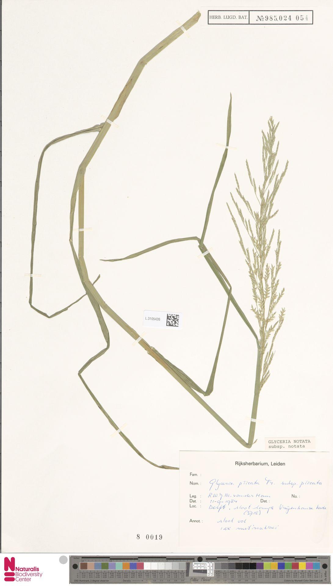 L.3105426 | Glyceria notata subsp. notata