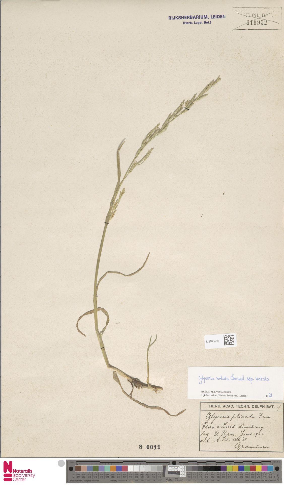 L.3105429 | Glyceria notata subsp. notata