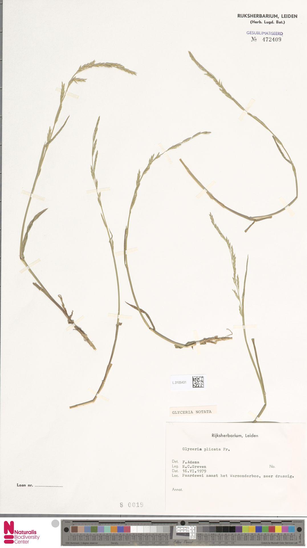 L.3105431 | Glyceria notata Chevall.