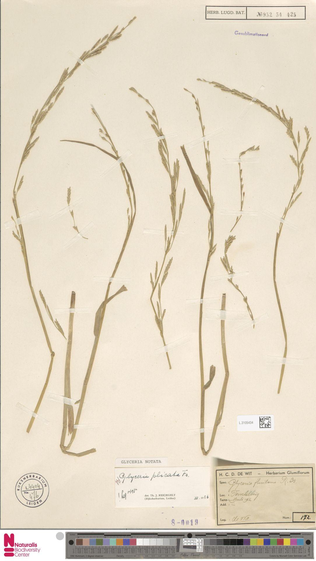 L.3105434 | Glyceria notata Chevall.