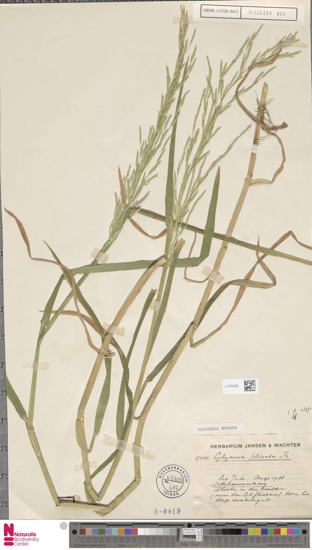 L.3105435 | Glyceria notata Chevall.