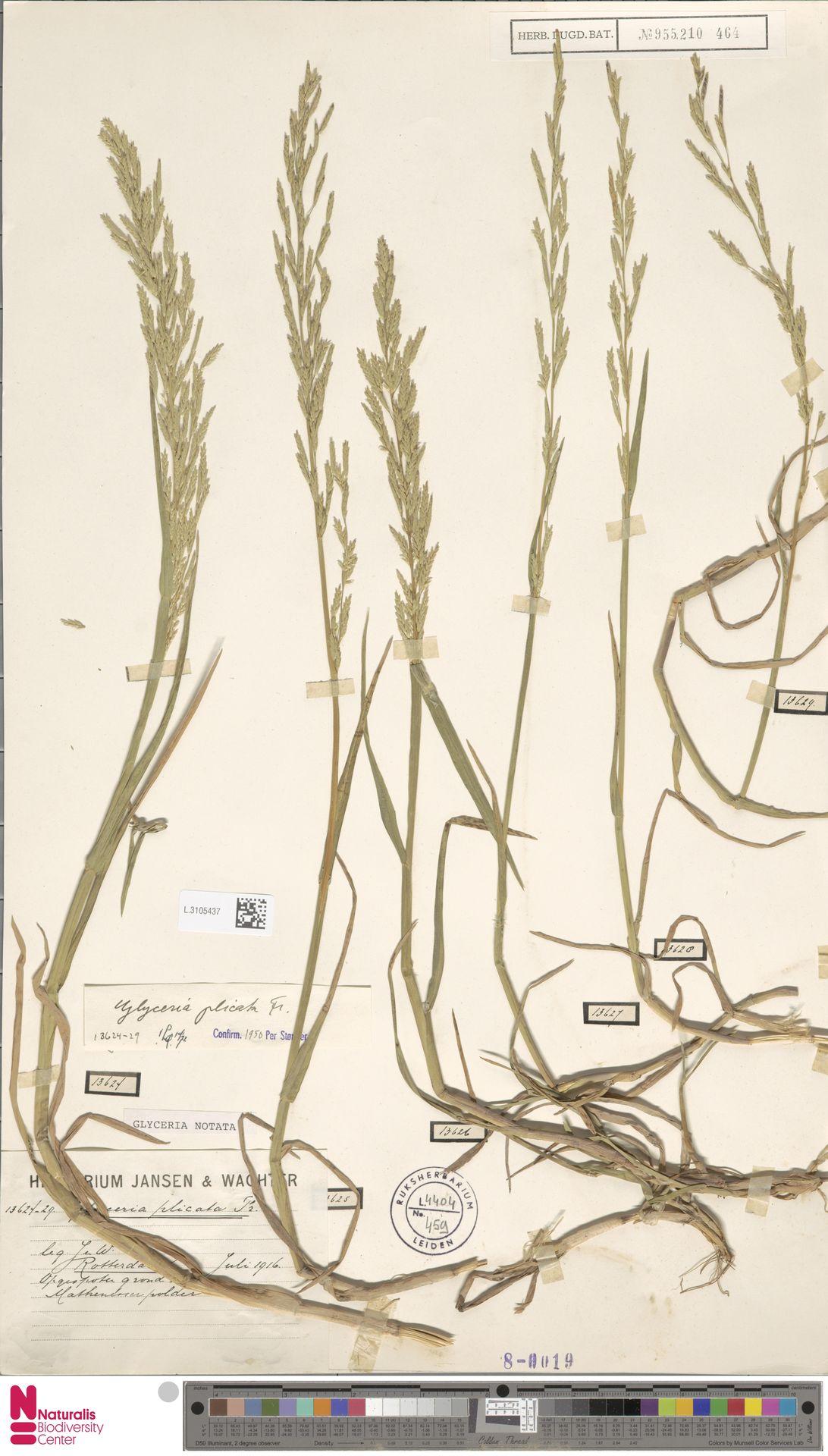 L.3105437 | Glyceria notata Chevall.