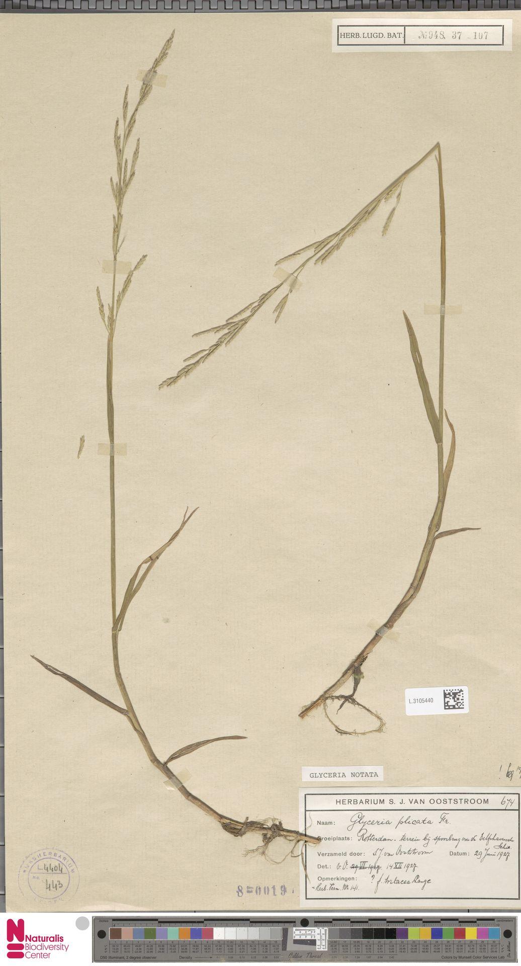 L.3105440 | Glyceria notata Chevall.