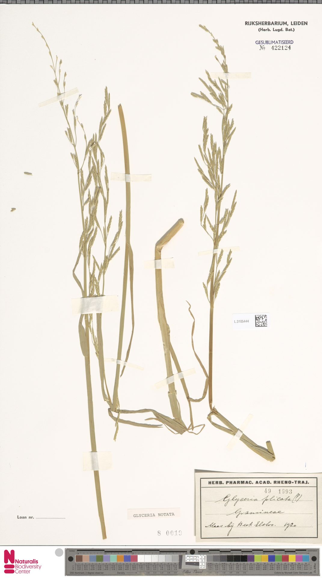 L.3105444   Glyceria notata Chevall.