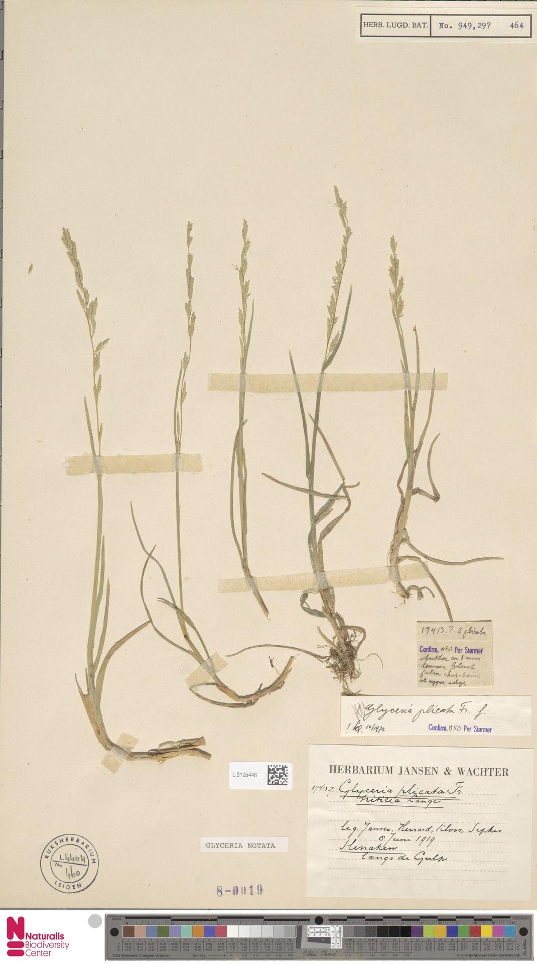 L.3105448   Glyceria notata Chevall.
