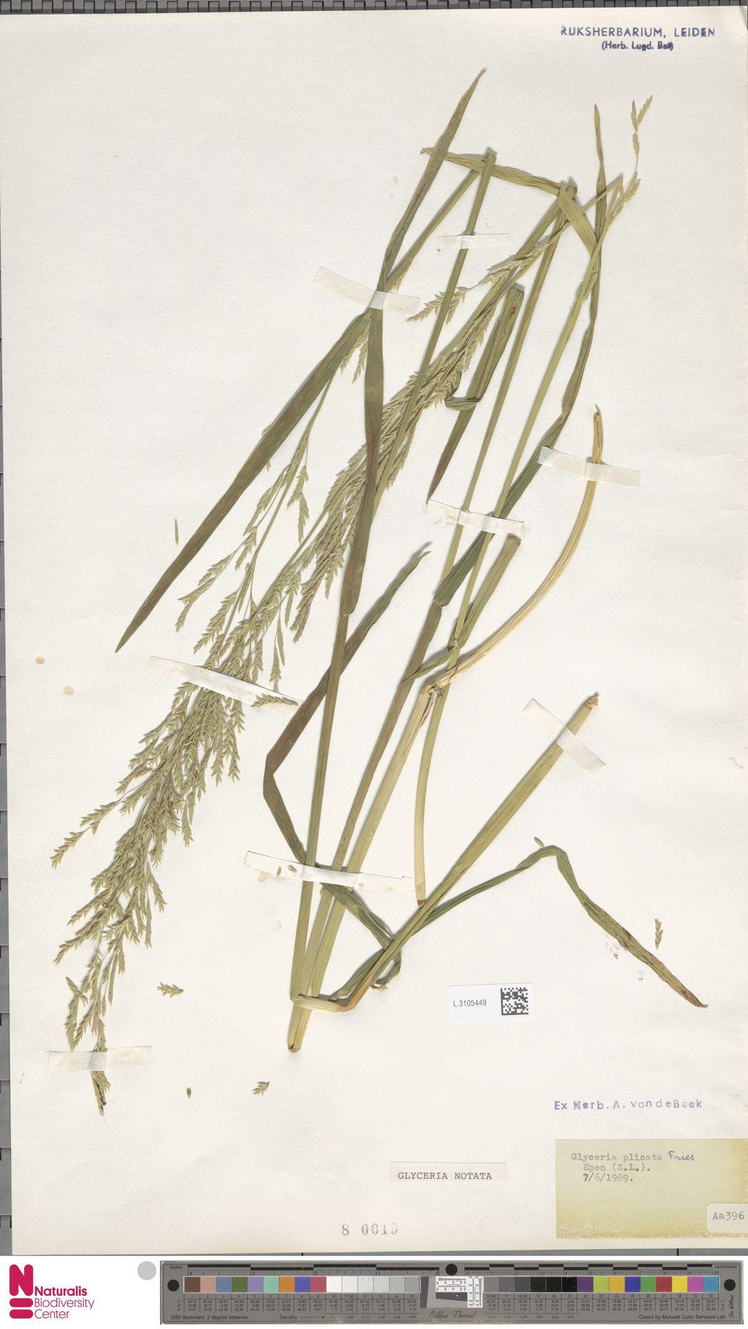 L.3105449 | Glyceria notata Chevall.