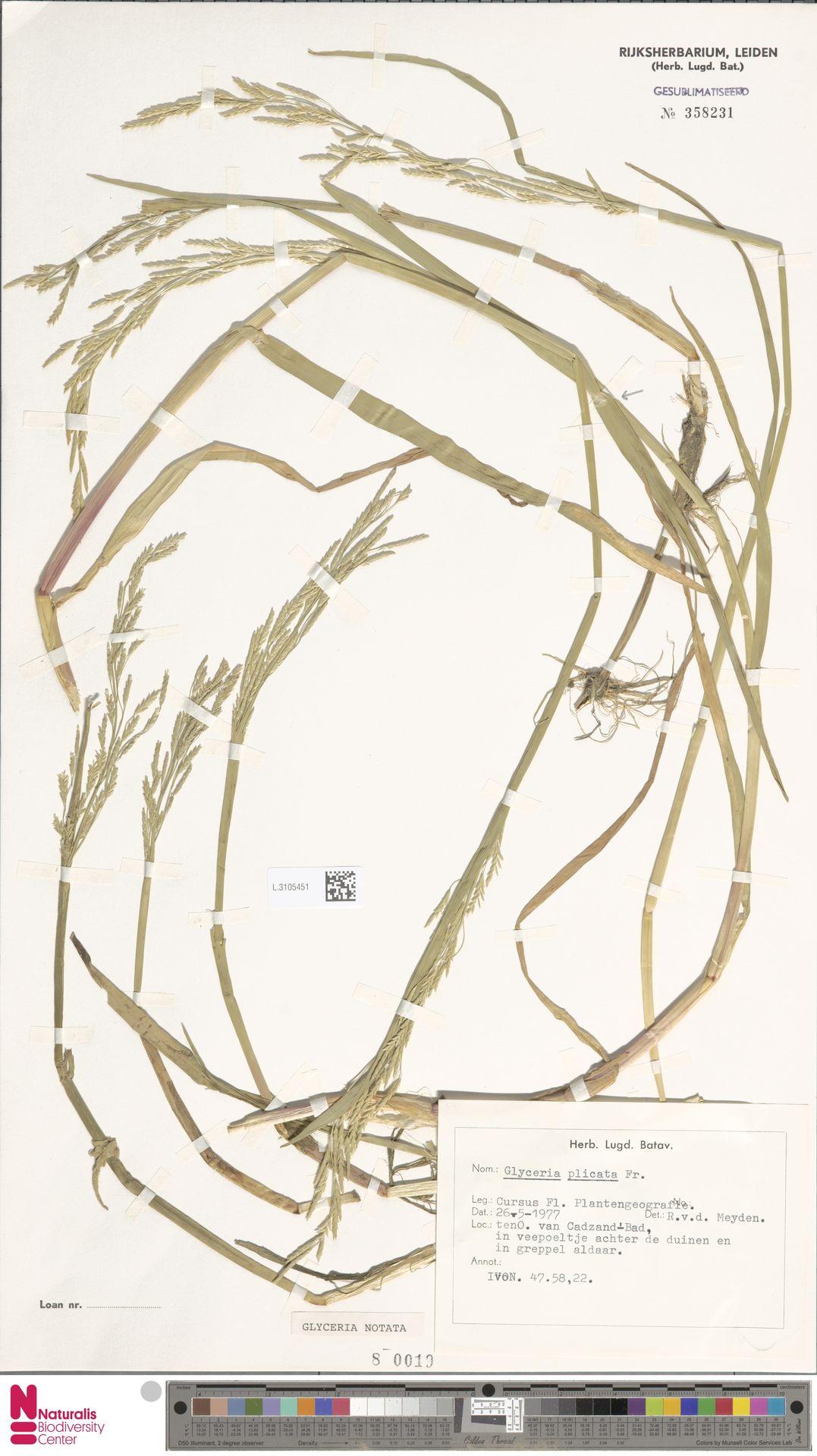 L.3105451 | Glyceria notata Chevall.