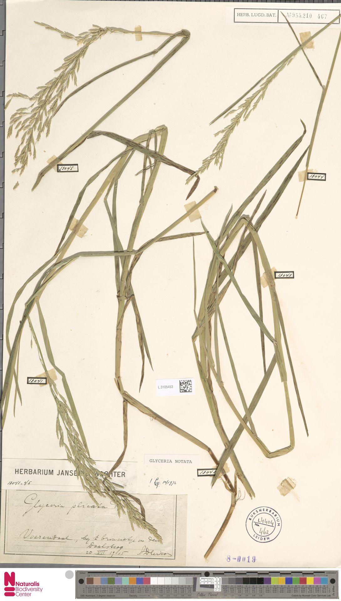 L.3105453 | Glyceria notata Chevall.