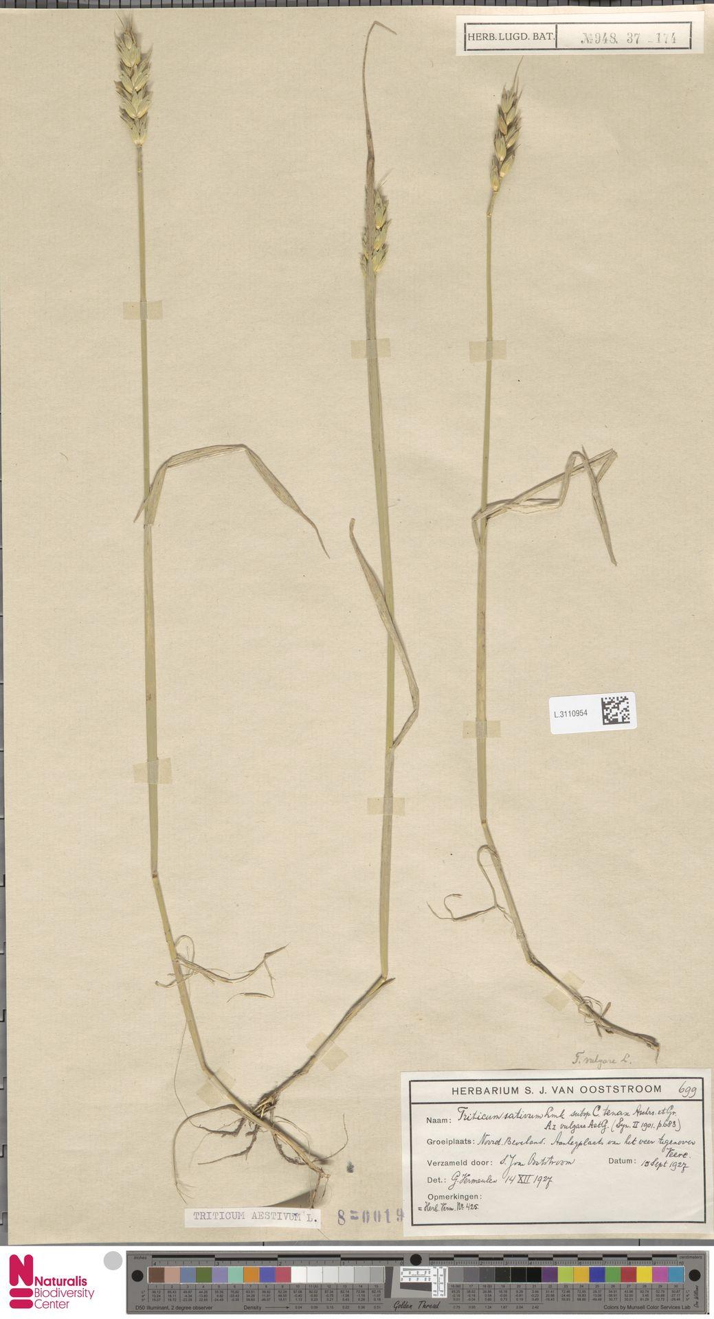 L.3110954 | Triticum aestivum L.