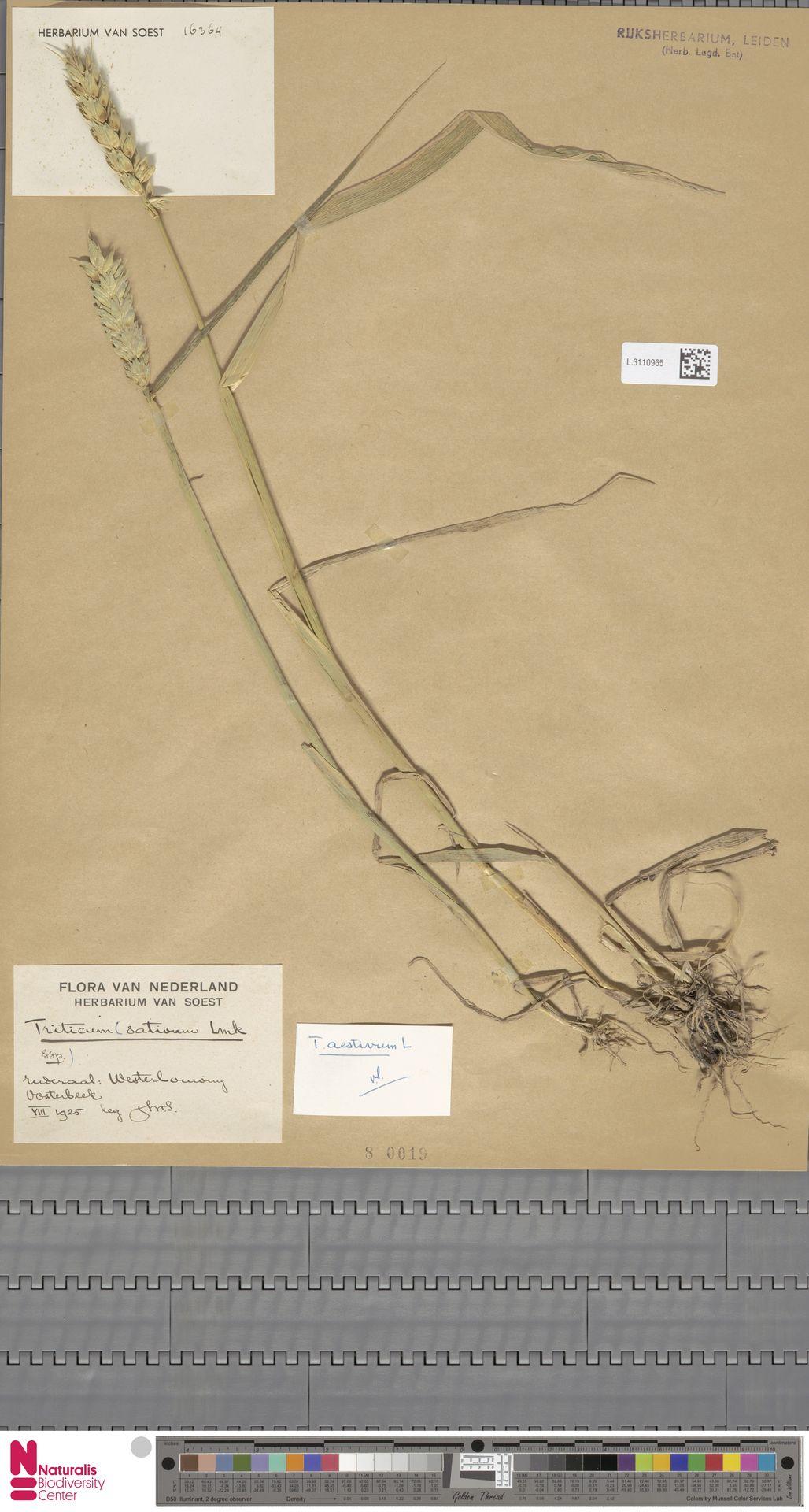 L.3110965   Triticum aestivum L.