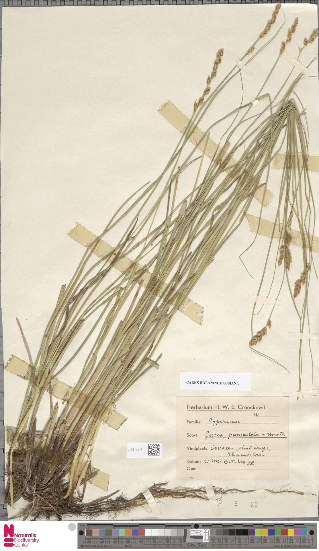 L.3114118 | Carex paniculata L.