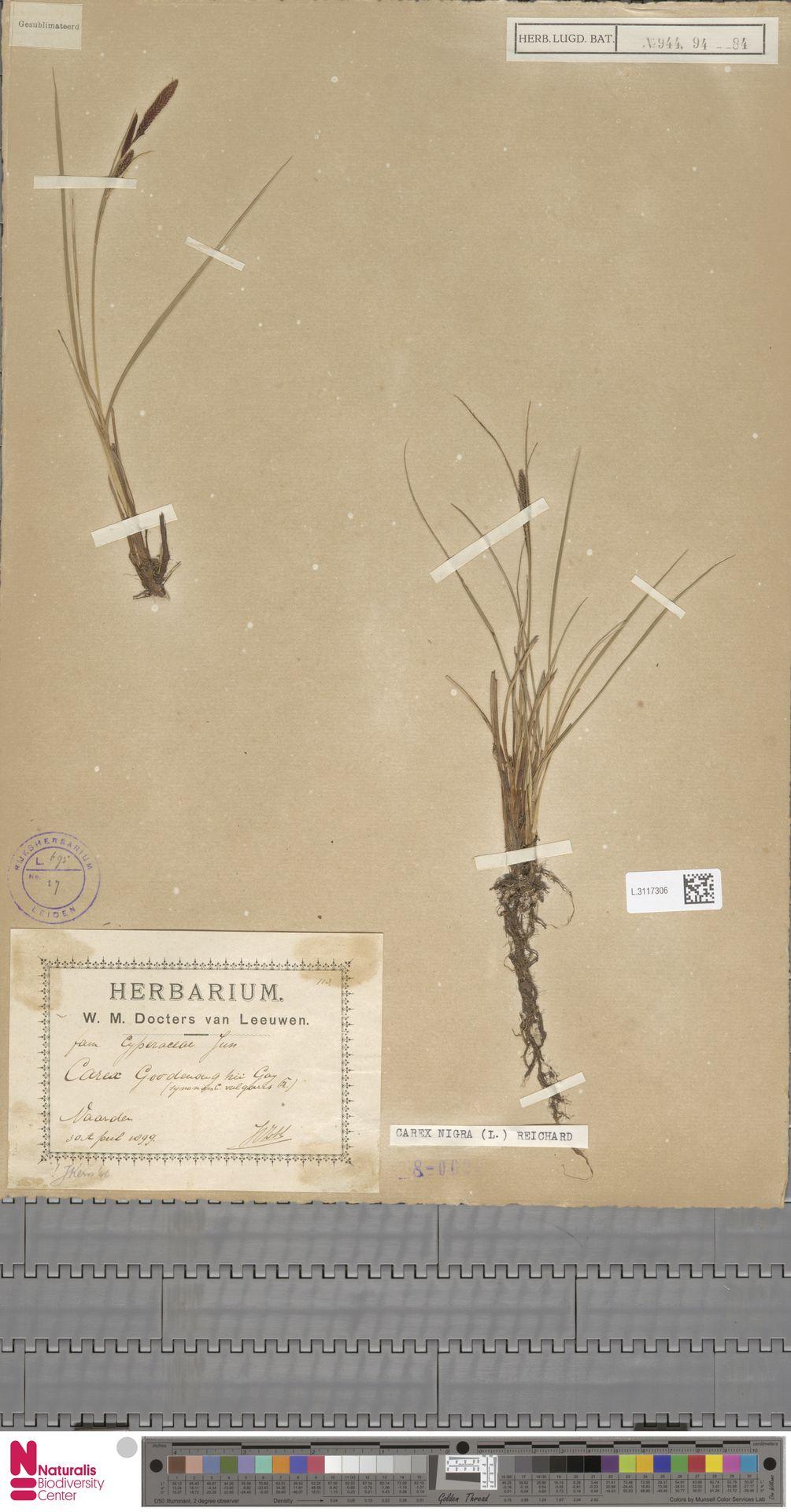 L.3117306 | Carex remota L.